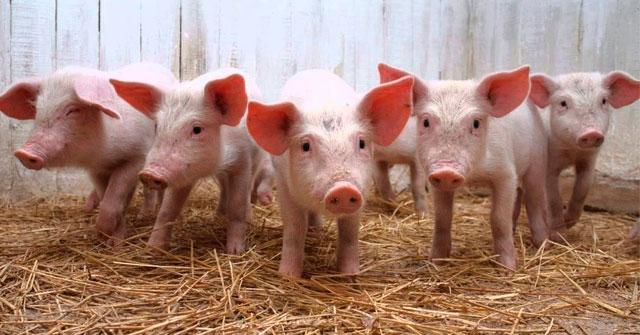 La competitividad del Sector Porcino en Argentina